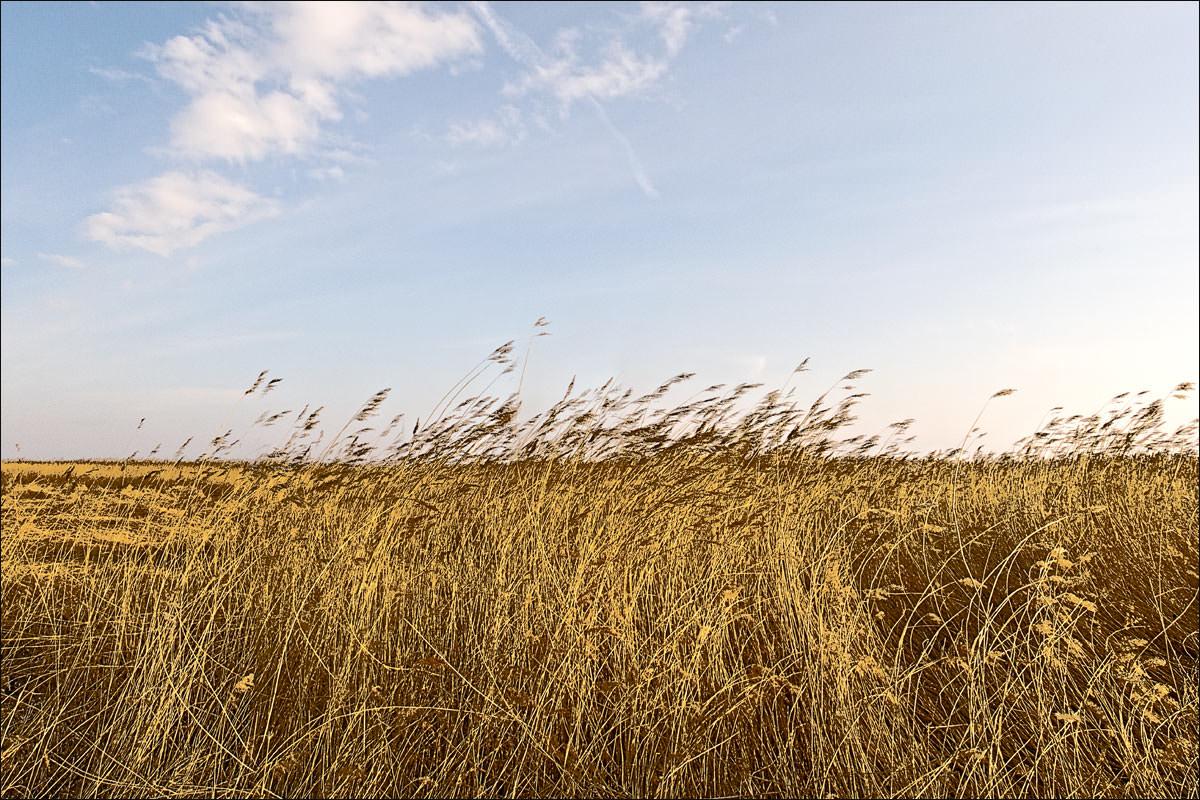 Schilf-im-Wind#2